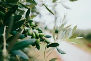 Image of olive branch: Represents English idiom