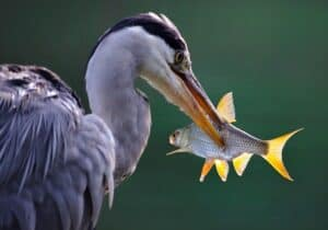 Bird eating fish