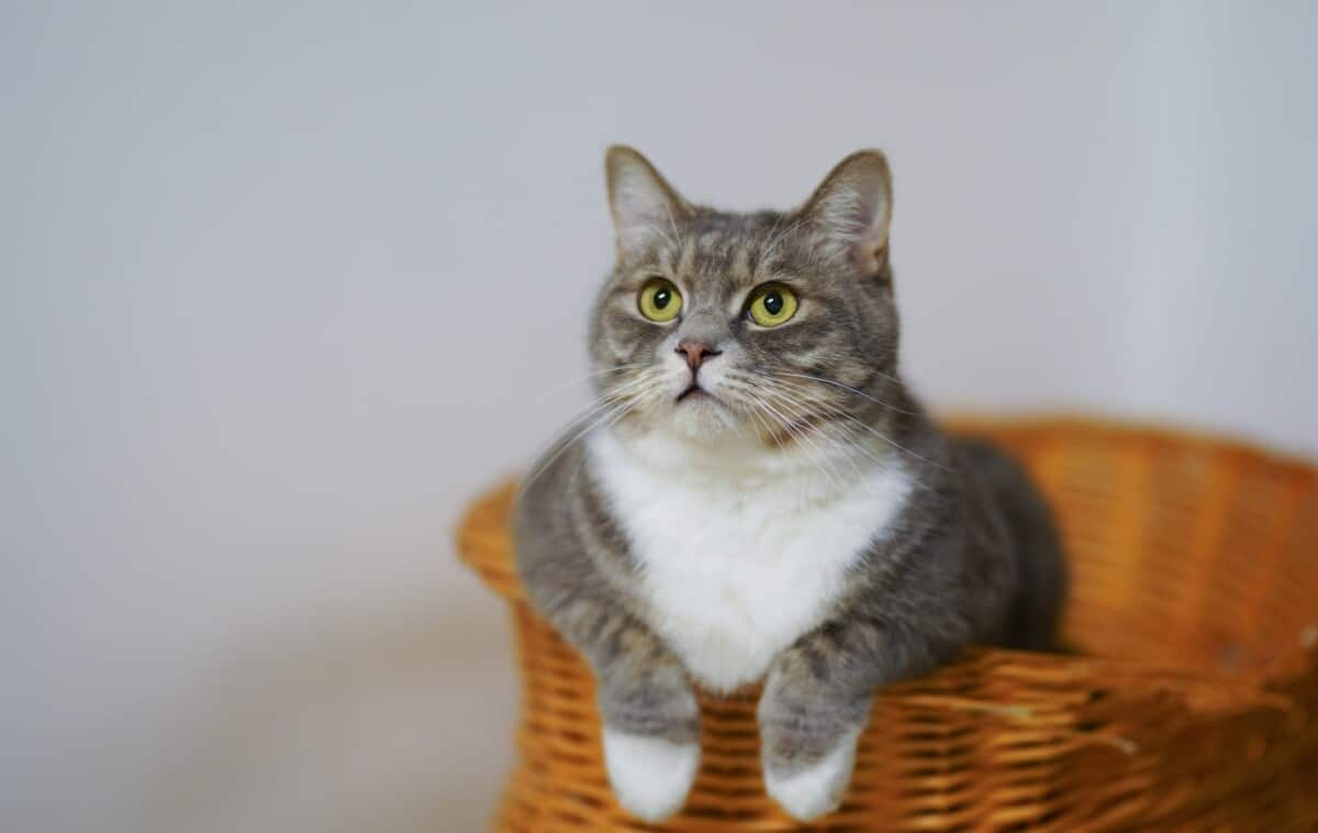 cat inside the basket