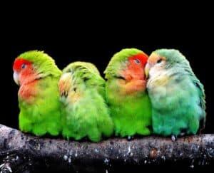 four green parrots