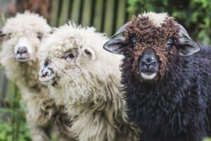 2 white sheep and 1 black sheep